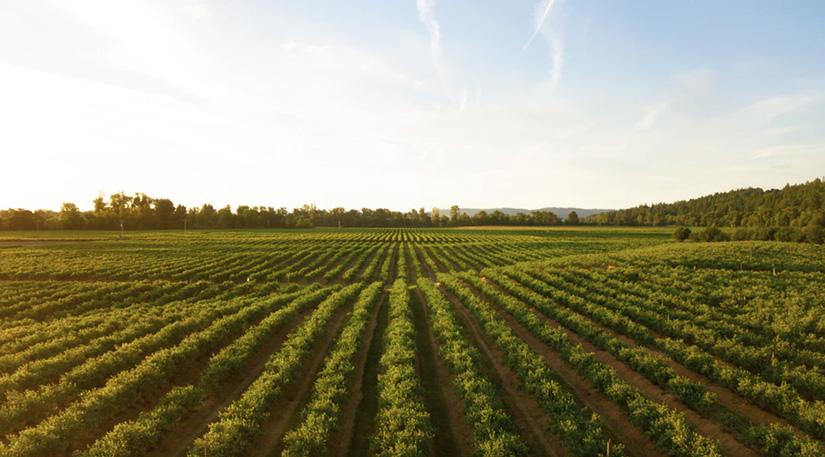 A large crop field